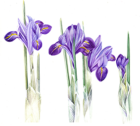 JW Iris reticulata small